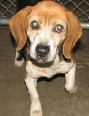 Beagle - #32 Miller - Small - Adult - Male - Dog