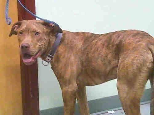 Pit Bull Terrier - A063792 - Large - Adult - Male - Dog