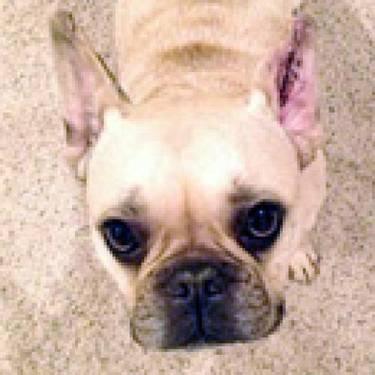 French Bulldog - Widget - Small - Adult - Male - Dog