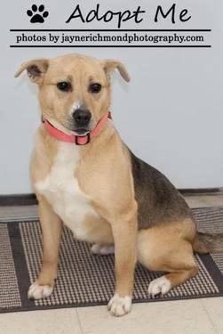 Yellow Labrador Retriever - Sarge - Large - Adult - Male - Dog