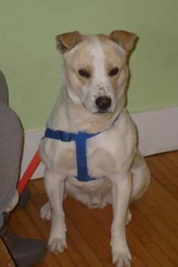 Yellow Labrador Retriever - Marley - Large - Adult - Male - Dog