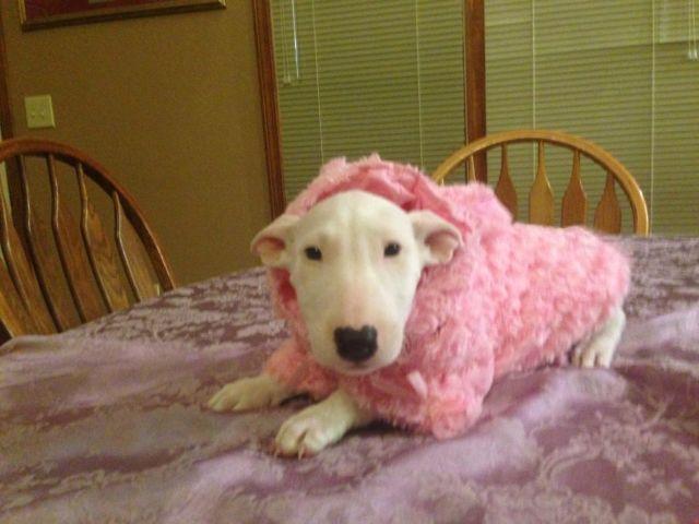 Pit Bull Terrier - Darnell - Medium - Adult - Male - Dog