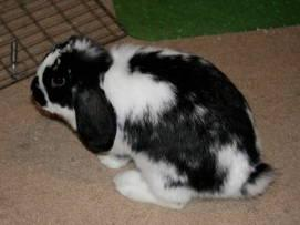 Mini - Lop - Speckles - Small - Adult - Male - Rabbit