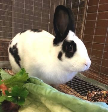 English Spot - Boomer - Medium - Adult - Male - Rabbit