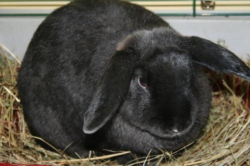 Lop Eared - Hot Chocolate - Large - Adult - Male - Rabbit