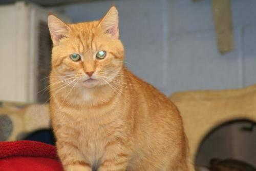 Domestic Short Hair - Orange and white - Andy - Medium - Young