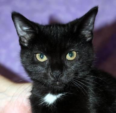 Domestic Short Hair - Dutchess - Medium - Baby - Female - Cat