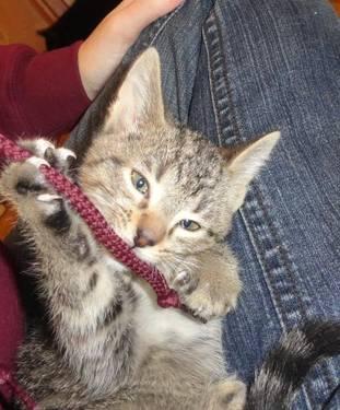 Tabby - Brown - Annie - Medium - Baby - Female - Cat