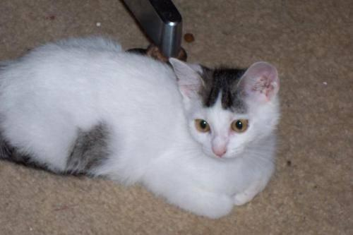 Domestic Short Hair - Jazmine - Medium - Baby - Female - Cat