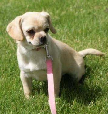Pug - Zsa Zsa - Medium - Baby - Female - Dog