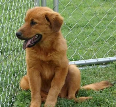 Chow Chow - Tanya - Medium - Baby - Female - Dog