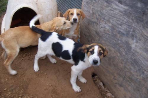 Beagle - 2 F Beagle - Medium - Baby - Female - Dog