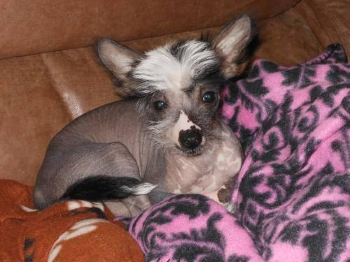 Chinese Crested Dog - Birdee - Medium - Baby - Female - Dog