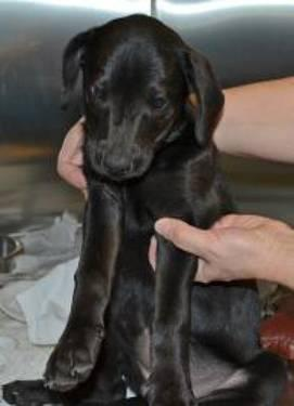Labrador Retriever - Priscilla - Medium - Baby - Female - Dog