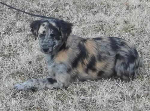Australian Shepherd - Callie - Medium - Baby - Female - Dog