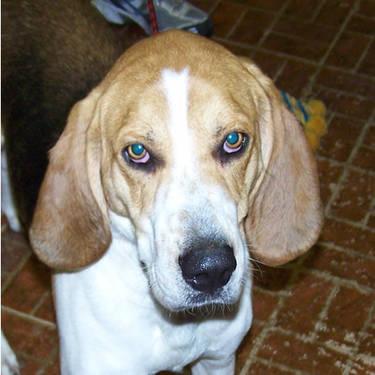 Treeing Walker Coonhound - Darby - Medium - Baby - Female - Dog