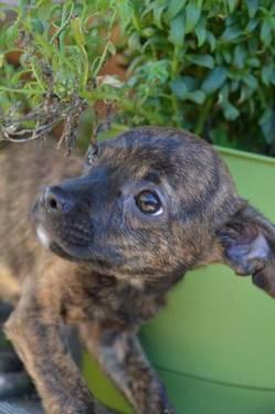 Boston Terrier - Dorothy - Small - Baby - Female - Dog