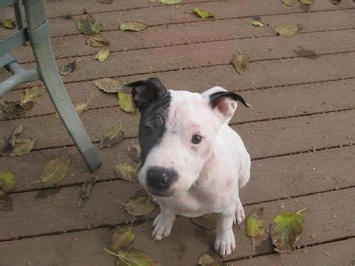 Pit Bull Terrier - Poky - Medium - Baby - Female - Dog