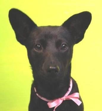 Labrador Retriever - Betty - Medium - Baby - Female - Dog