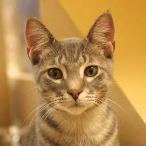 Domestic Short Hair - Chong - Medium - Baby - Male - Cat