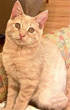 Tabby - Buff - Borrell - Medium - Baby - Male - Cat