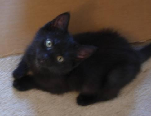 Domestic Short Hair - Mikey - Medium - Baby - Male - Cat