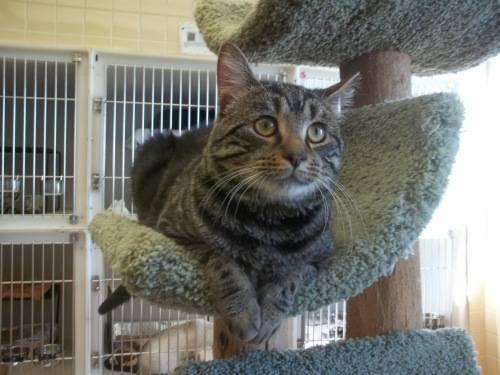 American Shorthair - Trey - Medium - Baby - Male - Cat