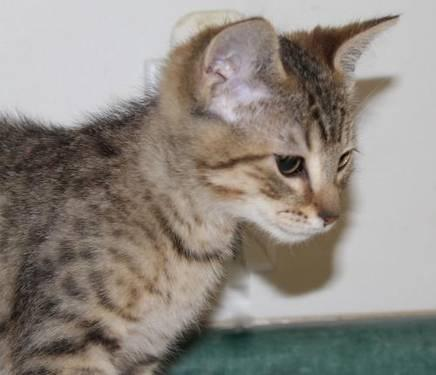 Domestic Short Hair - David - Medium - Baby - Male - Cat