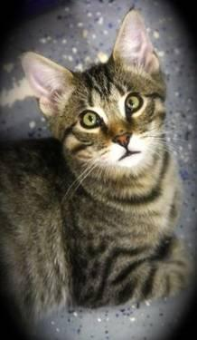 Tabby - White - Spunky - Small - Baby - Male - Cat