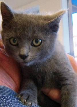 Russian Blue - Roscoe - Small - Baby - Male - Cat