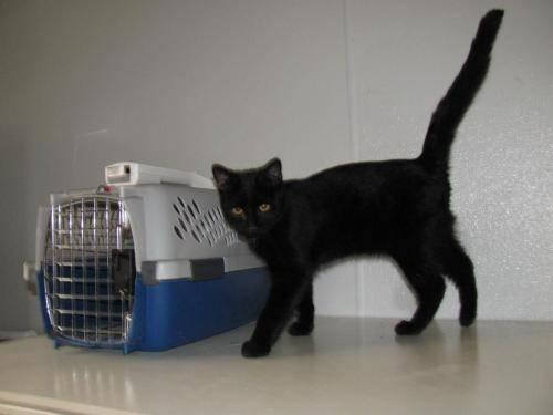 Domestic Short Hair - Peanut - Medium - Baby - Male - Cat