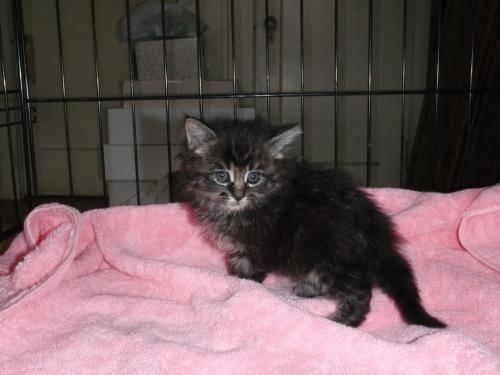 Maine Coon - Kitten - Medium - Baby - Male - Cat for Sale in