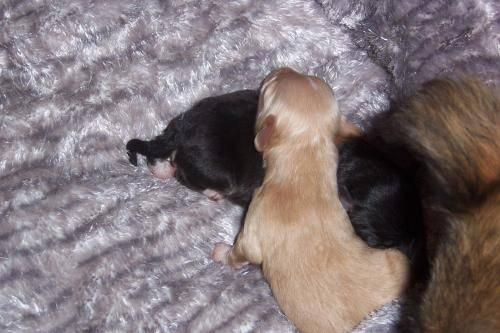 Chihuahua - 2 Chihuahua Pups - Small - Baby - Male - Dog