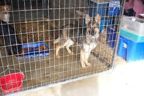 German Shepherd Dog - Nitro - Large - Baby - Male - Dog