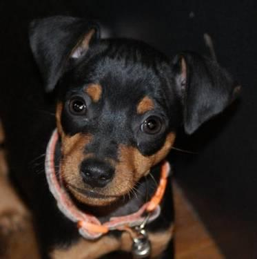 Manchester Terrier - Marius - Small - Baby - Male - Dog