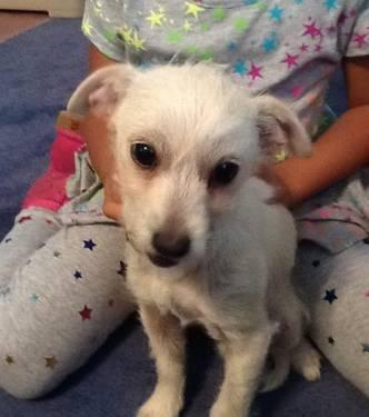 Jack Russell Terrier - Ben - Small - Baby - Male - Dog