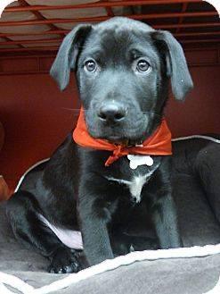 Labrador Retriever - Aiden - Large - Baby - Male - Dog