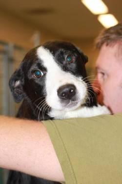 Border Collie - 14805 - Small - Baby - Male - Dog