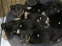 Beagle - Beagle Bunch - Medium - Baby - Male - Dog