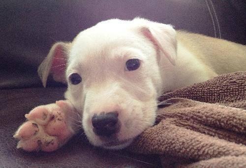 Australian Shepherd - Basil - Medium - Baby - Male - Dog