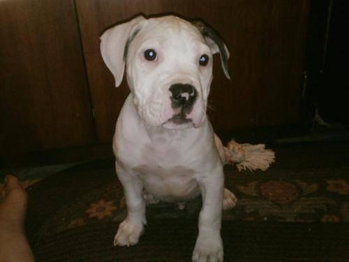 American Bulldog - Bruno - Large - Baby - Male - Dog