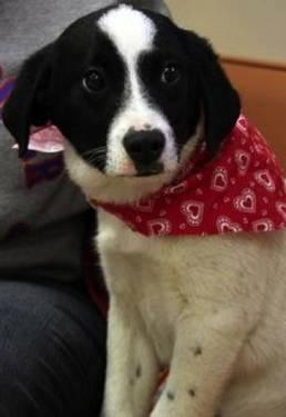 Border Collie - Spanky - Medium - Baby - Male - Dog