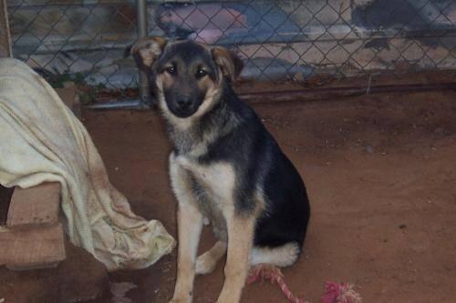 German Shepherd Dog - Beau - Large - Baby - Male - Dog