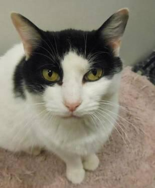 Domestic Short Hair - Black and white - Bella - Medium - Senior