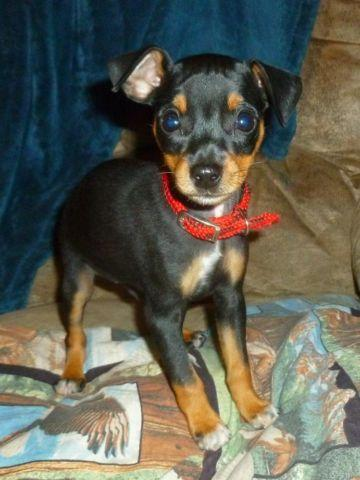 Male Min Pin puppies - Born Aug 11