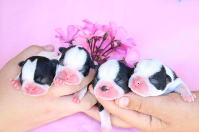 Lavish Boston Terrier Babies - Champion Bloodline!