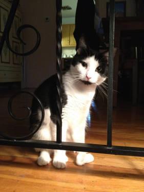 Extra - Toes Cat (Hemingway Polydactyl) - Chloe - Medium - Baby