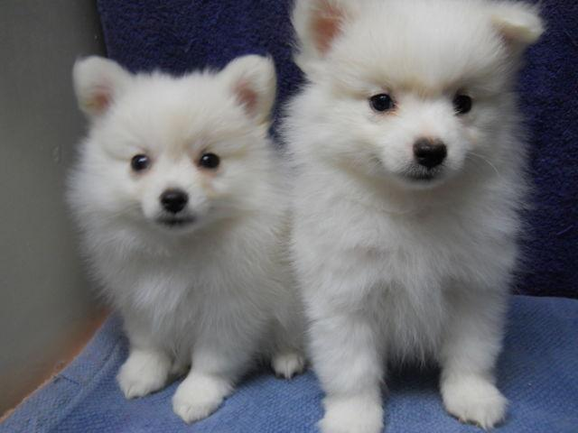 WHITE MALE POMERANIAN PUPPIES - CKC REGISTERED
