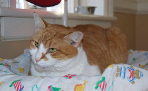Domestic Short Hair - Orange and white - Cujo - Medium - Adult