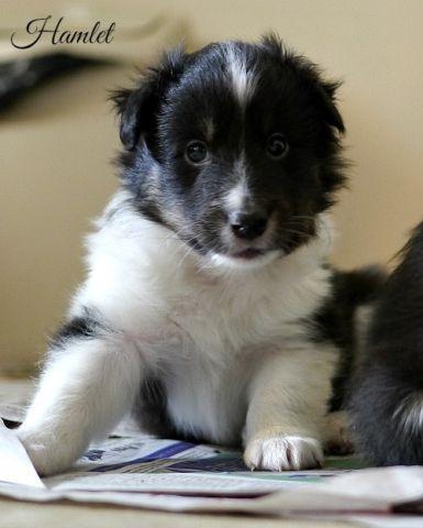 Hamlet, Tri Male Shetland Sheepdog Puppy - DOB 06 03 16